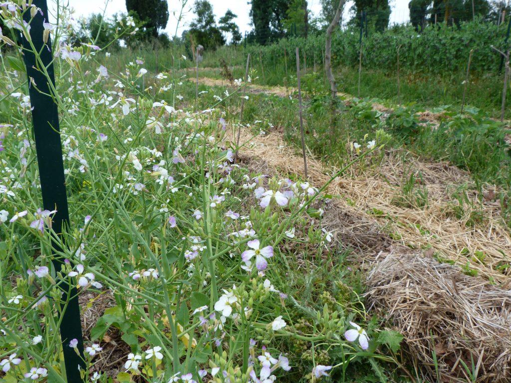 délicates fleurs de radis
